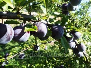 Варенье из яблок и слив в хлебопечке: Собрать сливы